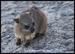 Dassie (Rock Hyrax) baby