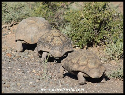Leopard Tortoise female being courted by two (smaller) males