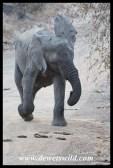 Elephant mock-charge