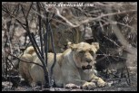 Lioness and mate