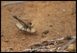 Thread-waisted Wasp and prey at Marakele National Park
