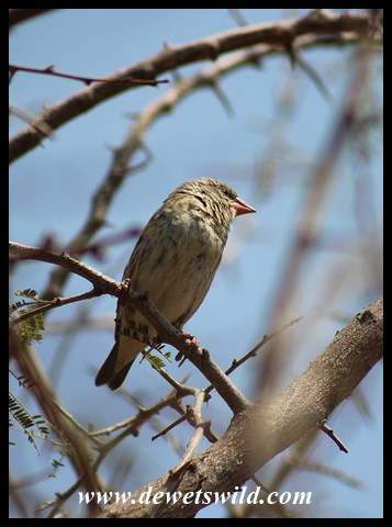 Red-billed Quelea female