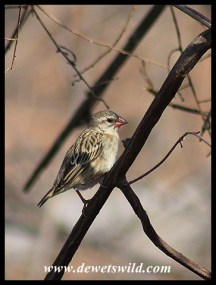 Female Red-billed Quelea