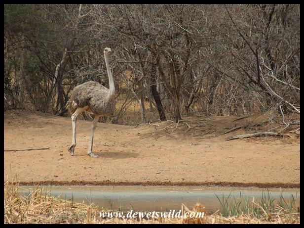 Ostrich at Bollonoto