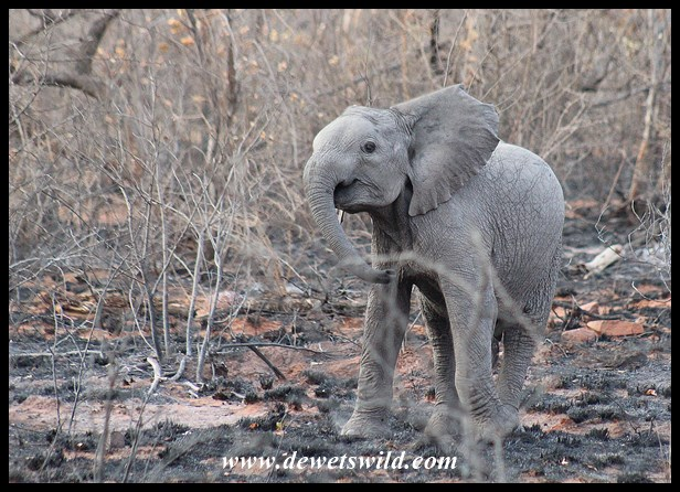Baby elephant show-off