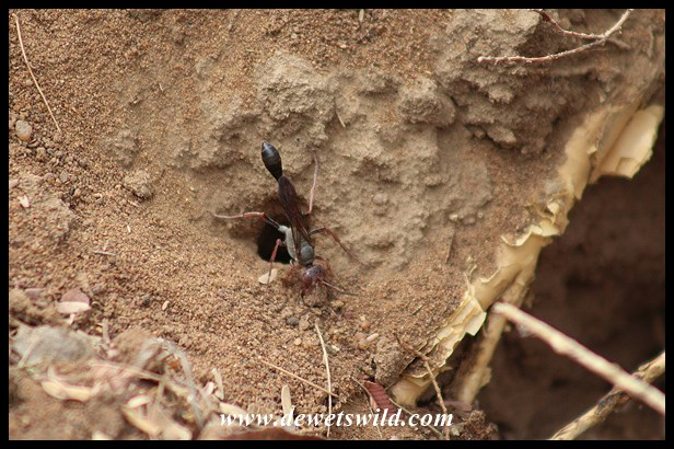 Wasp and caterpillar prey at Marakele