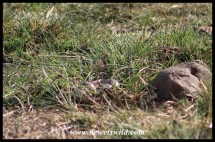 Crowned Lapwing nest (Moreletakloof)