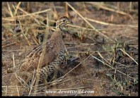 Coqui Francolin (female)