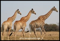 Tower of giraffes