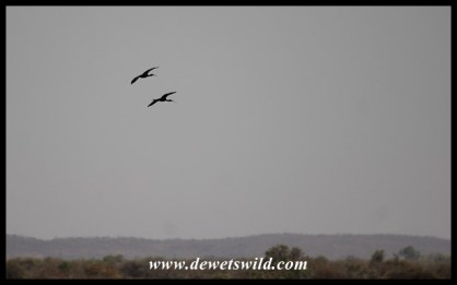 Glossy Ibises in flight over Vogelfontein