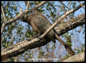 Grey Go-away Bird
