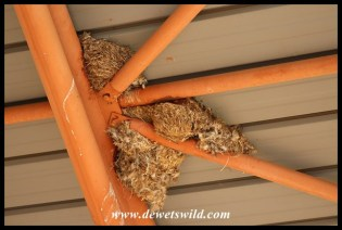 Little Swift nests in the roof of the gate building at Nylsvley
