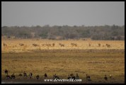 Big herd of roan antelope on the floodplain at Vogelfonteinin Nylsvley Nature Reserve