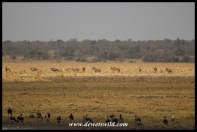 Big herd of roan antelope on the floodplain at Vogelfontein