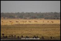 Big herd of roan antelope on the floodplain at Vogelfonteinin Nylsvley Nature Reserve
