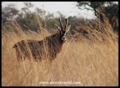 Roan Antelope Bull