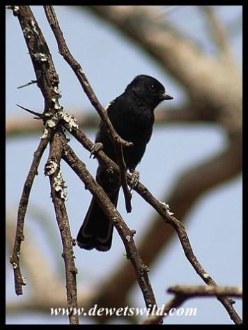 Southern Black Tit