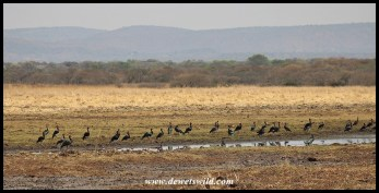 Large congregation of Spur-winged Geese at Vogelfontein