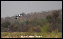 Spur-winged Goose coming in to land