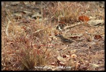 Well camouflaged White-browed Scrub Robin