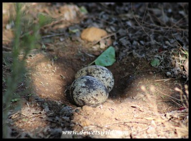 Spotted Thick-knee eggs
