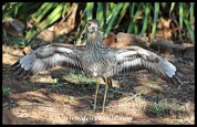 Spotted Thick-knee protecting nest