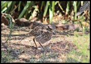 Spotted Thick-knee with eggs