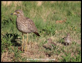 Spotted Thick-knee with 3-day old chicks