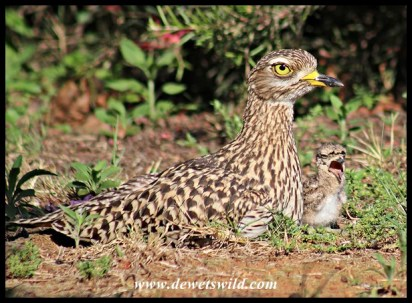 Spotted Thick-knee with 3-day old chick