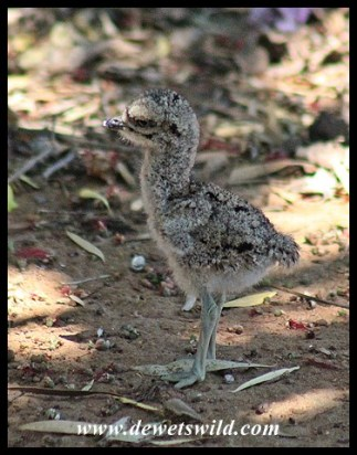 Three-day old Spotted Thick-knee chick