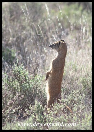 Yellow Mongoose_MZNP-Dec2017 (44)