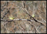 Yellow-fronted Canaries