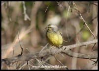 Yellow-fronted Canary (photo by Joubert)