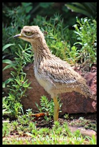 Three week old Spotted Thick-knee chick