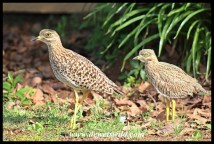 Spotted Thick-knee with month-old chick
