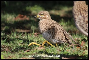 Month-old Spotted Thick-knee chick