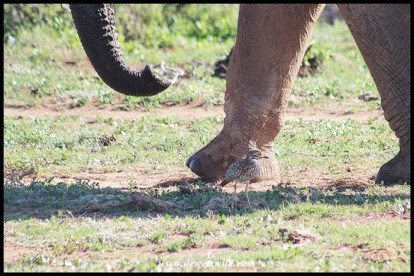 Big and small at Addo