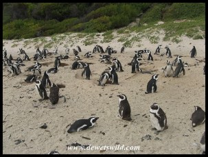Colony of African Penguins at Boulders Beach