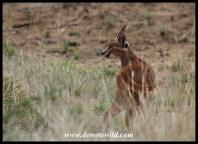 Caracal at Mountain Zebra National Park