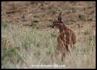Caracal at Mountain Zebra National Park