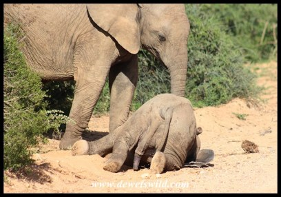 Baby Elephant Naptime at Addo