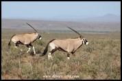 Gemsbok in the Karoo