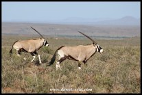Gemsbok in the Karoo