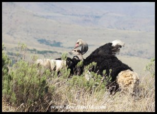 Ostriches mating at Mountain Zebra National Park
