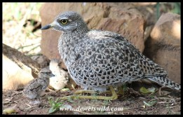 Parent with two-day old Spotted Thick-knee chicks
