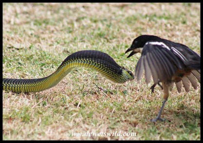 Deadly battle between a Southern Boubou and a Boomslang
