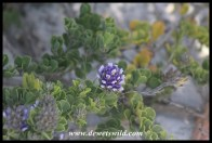 Agulhas has an amazing diversity of plants