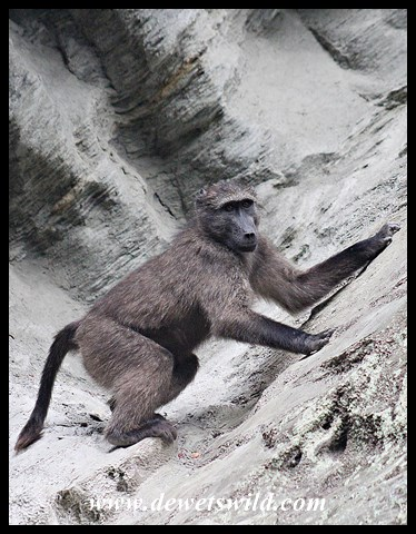 Chacma Baboon on a cliff-face