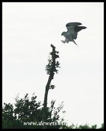 Black-shouldered Kite (photo by Joubert)