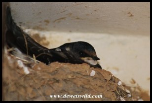 White-throated Swallow chick on nest